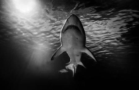 White shark hunting under water. Predator under light in ocean.