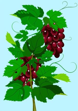scene of the grapevine. A design element. Stock Vector - 6996410