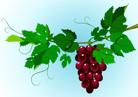 purple grapes: scene of the grapevine. A design element. Illustration