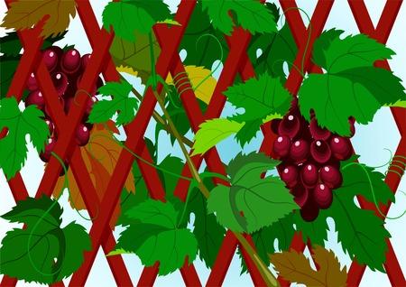scene of the grapevine. A design element. Vector