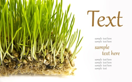 oat plant: freshly germinated seeds  (With sample text)