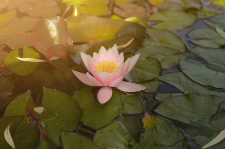 Beautiful pink purple waterlily or lotus flower on the water in pond. Archivio Fotografico - 138091329