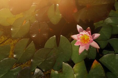 Beautiful pink purple waterlily or lotus flower on the water in pond. Archivio Fotografico - 138090818