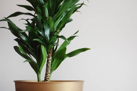 Close up of dracaena fragrans home plant. Minimal style design on empty white wall background. Empty place your text 写真素材