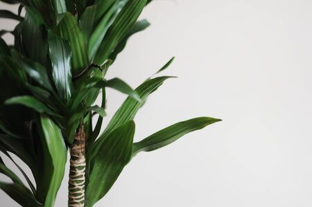Close up of dracaena fragrans home plant. Modern style interior. Empty place your text