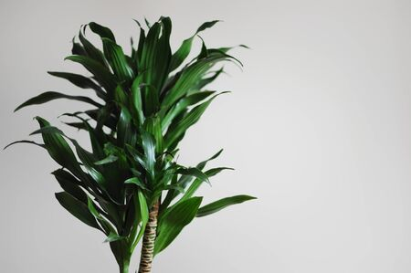 Dracaena fragrans. Modern style interior with home plant on empty wall background. Empty place your text