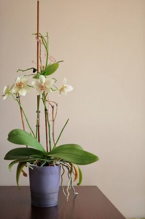 Minimal modern style interior with orchid flower. Home plant. Place for text