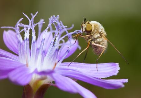 Buzzing on the flower chicory,Bombylius major photo