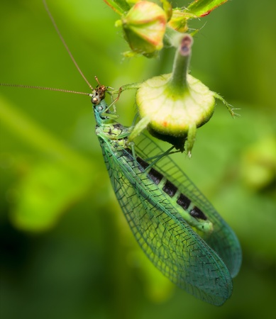 chrysoperla: insect Goldeneye on a summer morning,Chrysoperla carnea Stock Photo