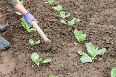 earthing: Woman working with hoe in the vegetable garden. Planting cabbage seedling. Cabbage  growing on fertile soil with fertilizer