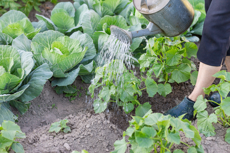 taking care: Watering cucumber and cabbage plants with a watering can. Woman taking care of plants in vegetable garden.