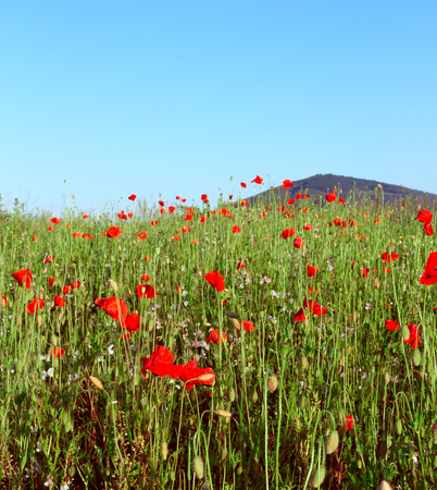 landscape flowers: Poppy field in summer. Red poppy flowers in foreground and mountain on blue sky in background. Landscape with nice vivid poppy field. Beautiful colorful nature landscape.