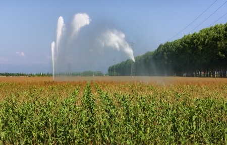 mais: Sprinkler irrigation in a maize field in lower Friuli, Italy, in August