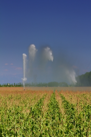 the po valley: Sprinkler irrigation in a maize field in lower Friuli, Italy, in August