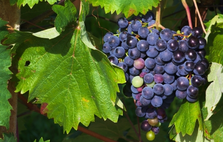 Black wine grapes near Dutovlje village, Slovenia photo
