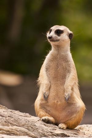 sentado meercat observarán y buscando Foto de archivo