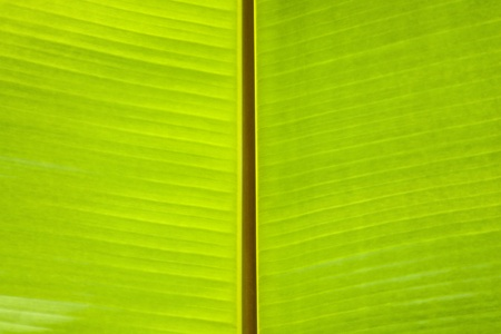banana green leaf background photo
