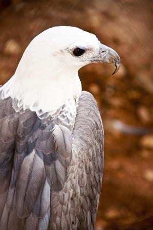 Grey Falcon Stock Photo - 11387217