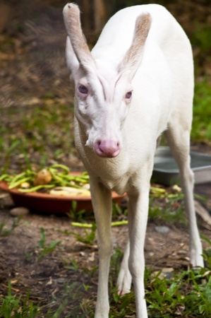 White Deer in Farm Stock Photo - 11387243