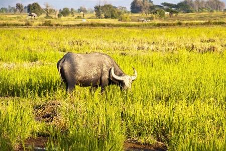 Mammal animal, Thai buffalo in grass field photo