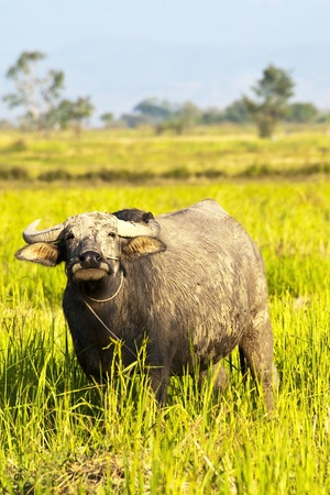 Mammal animal, Thai buffalo in grass field