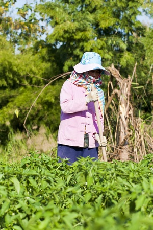 women working in the park of green peppers photo