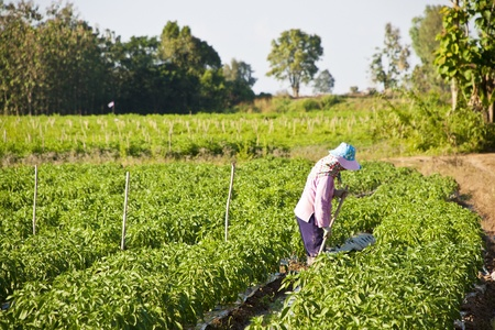 women working in the park of green peppers Stock Photo
