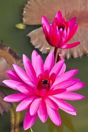 jardines con flores: flor de loto