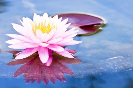 Fleur de lotus Banque d'images - 12022730