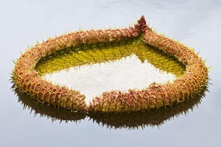 lotus flower blossom photo