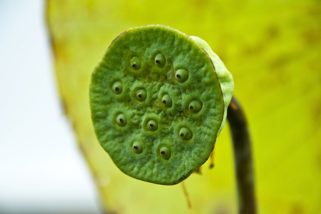 Lotus seed Stock Photo - 12022741