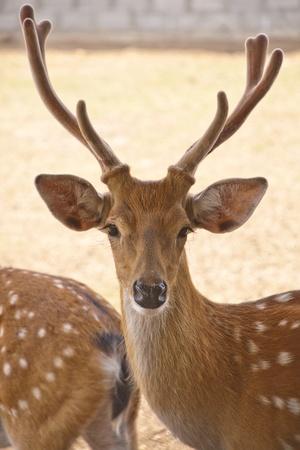 Deer in Farm Stock Photo - 12412799