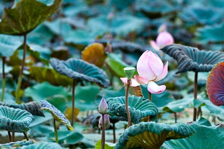 View of quiet backwater lake with lotuses