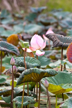 View of quiet backwater lake with lotuses photo