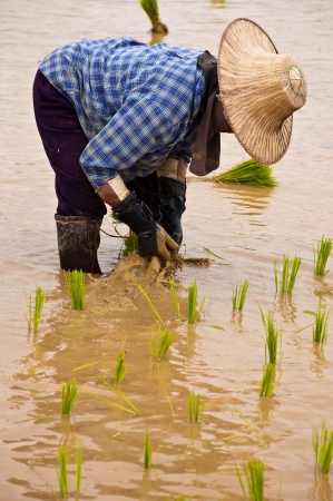 Farmers working planting rice in the paddy field Stock Photo