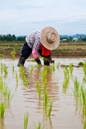Farmers working planting rice in the paddy field photo