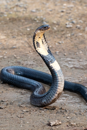 defensive posture: Cobra with hood up in defensive posture, South East Asia Stock Photo