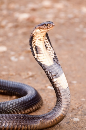 cobra snake: Cobra with hood up in defensive posture, South East Asia Stock Photo