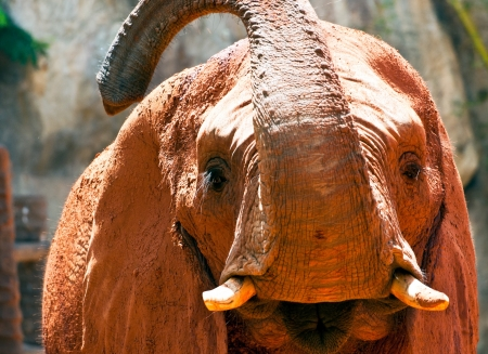 Close up of an african elephant grazing Stock Photo - 14621434