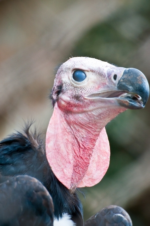 lappet: Headshot of Lappet Faced Vulture  torgos tracheliotus  looking at viewer Stock Photo
