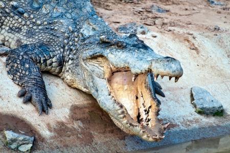 A fresh water crocodile Stock Photo - 14843089