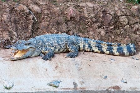 A fresh water crocodile Stock Photo - 14843063