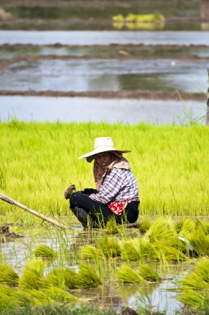 replanting: NAN, THAILAND - JULY 15: Unidentified Thai farmer works hard on rice field on July 15, 2012 in Nan Province, Thailand. For many farmers rice is the main source of income (around $800 annual)