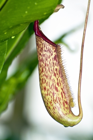 pitfall: Trap flower  plant anatomy  nepenthes pitfall trap Monkey cups plant