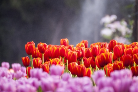 fresh tulips in garden with water spray photo