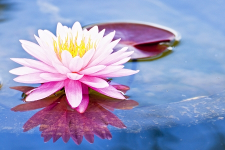 beautiful lotus with water reflection