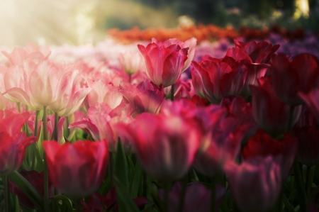 fresh tulips in garden on sunset photo