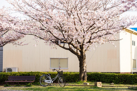 cherry blossom  Sakura  and a bench in a park of Japan photo
