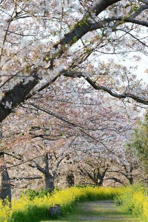Cherry blossom  Sakura  and the pathway in garden of japan photo