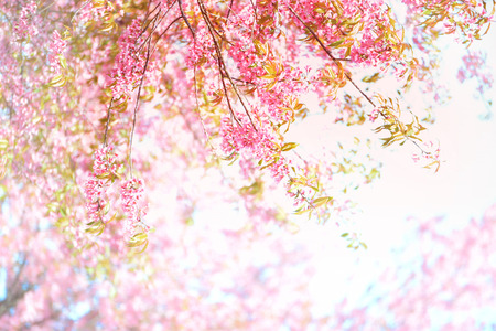 cherry blossom in a park with background photo